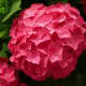 Red hydrangea flower cluster