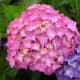 Pink hydrangea flower cluster