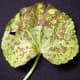 Anthracnose infected Hollyhock leaf.