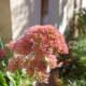 sedum-plant-types-care-and-propagation