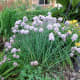 Another contribution from my sister-in-law.  Chives are so easy to transplant and so gorgeous right after the tulips fade.