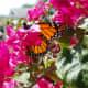Monarch butterfly in my bougainvillea