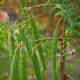 Moringa pods containing seeds on a Moringa tree.