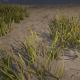 Common Bulrush