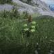 Alaskan Ginseng