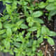Winter Savory plant