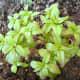 Summer Savory plant