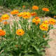 Calendula officialis, also known as calendula.