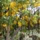 Cassia fistula fruits