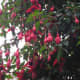 A majestic towering wild fuchsia in our garden—they are one of my favorite flowers.