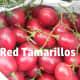 Tree-ripened tamarillo fruits ready to be eaten.