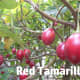 Tamarillos ripening on the tree.