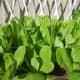 Lettuce @ My Small Garden
