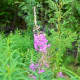 when-your-jelly-fails-to-gel-featuring-fireweed