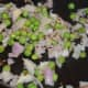 Step three: Add chopped onions and fresh peas. Stir-cook till onions turn golden.