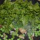 Step three: Add chopped spinach leaves, once peas become tender. Throw some salt into the pan for fast cooking.