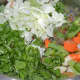 Add all of the chopped veggies and chopped coriander leaves. Throw in some salt and sauté for 2–3 minutes.
