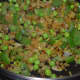 Step three: Throw in green peas and chopped capsicum. Saute for 3-4 minutes.