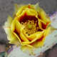 close-up of a bloom on a prickly pear cactus