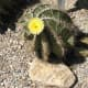 Yellow flower blooming on a Star Cactus