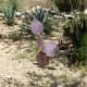 A purple prickly pear cactus in bloom.