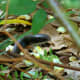 Southern black racer (Coluber constrictor priapus) with a raised head.