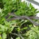 Black Racer on Merritt Island, Florida. These snakes are common in Florida and can often be found in suburban yards. They feel less threatened by humans than most other snakes.