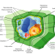 A typical Plant Cell