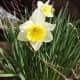 Daffodils in British Columbia, Canada