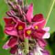 A kudzu in full blossom.