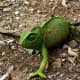 The chameleon's colouration ranges from green to brownish tones.