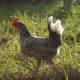 Exchequer leghorn hen