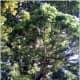 Gymnosperms are types of plants. October Giant Redwood Neuershausen