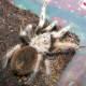 The western desert tarantula, Arizona blond tarantula or Mexican blond tarantula.