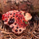 """Hydnellum peckii has some sinister names, including """"bleeding tooth fungus,"""" and """"Devil's tooth fungus,"""" but at least it is not poisonous. I think it is rather attractive!"""