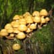 Sheathed woodtuft (Kuehneromyces mutabilis) grows on decaying wood. It provides a wonderful bright spot in the wood and is edible and very tasty. It is a common species in cooler climates worldwide.