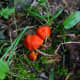 """The orange mushrooms can appear so bright that they nearly """"glow"""" in the dark undergrowth of the forest."""