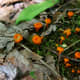 Orange waxcaps can be found in small, scattered groups among the mossy undergrowth of the woods.