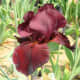 The Samurai Warrior Iris is the closest thing to a red iris that exists at the moment. The beard, or row of hairs, can be seen in the middle of the sepal at the front of the photo.