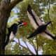 Ivory-Billed Woodpecker wingspan