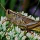 Unidentified grasshopper from Pixabay