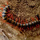 Photo of unidentified centipede from Wikipedia.