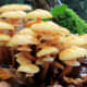 Evidence of the world's largest organism can be seen through its fruiting bodies (honey mushrooms) in the fall.