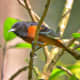 A male orchard oriole is a russet color instead of the typical flame orange color of the Baltimore oriole.
