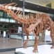 A skeletal cast of Amargosaurus