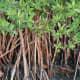 Rhizophora mangle (prop roots)