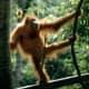 ...and the Sumatran orangutan with its slightly taller or longer head.