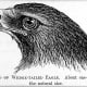 An 1880 Illustration of the Head of a Wedge-Tailed Eagle