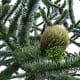 A female cone