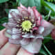 A hellebore flower with multiple rows of petals (which in the case of hellebores are really sepals)